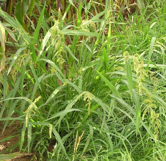 Echinochloa_crus-galli_2006.08.27_14.59.37-p8270051.jpg