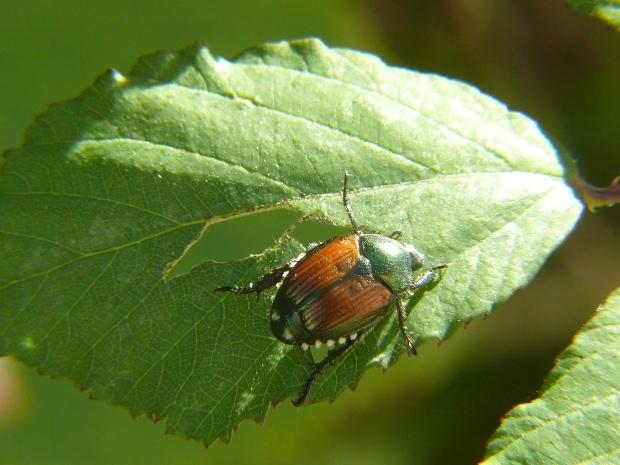 Popillia_japonica_-_Japanese_beetle.JPG